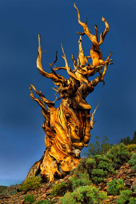Bristlecone Pine Between Thunderstorms on The Giving Tree