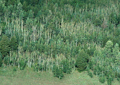 Aerial view of declining aspen stands