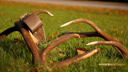 Elk antlers and adult radio collar
