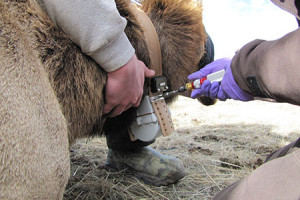 A collar being fitted on an elk
