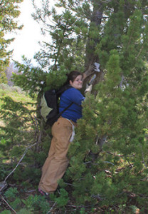 Emily Stark, a volunteer from Bozeman, Mont., applies a phermone patch to an adult whitebark pine.