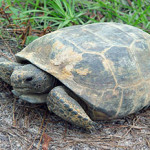 The gopher tortoise, a keystone species in longleaf forests.