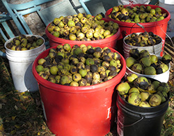 A typical harvest of black walnuts before processing. Anyone with a brown paper sack or a five-gallon bucket can sell their harvest at one of Hammons' hulling stations.