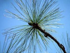 Longleaf pine branch.