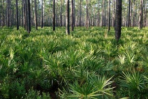 Longleaf pine stand in Osceola National Forest.