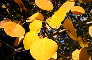 Quaking aspen fall foliag