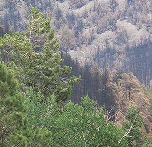 Green aspen contrast with the charred landscape after the Schultz Fire