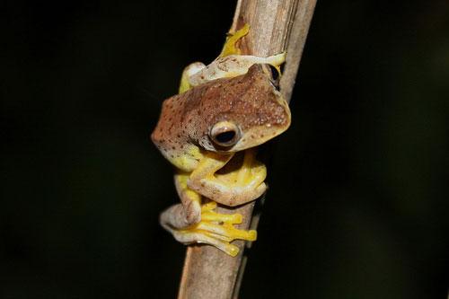 Philippine tree frog Rhacophorus pardalis