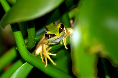 Tree frog at Sungei Buloh Wetland Reserve in Singapore. Credit: Nir Sinay