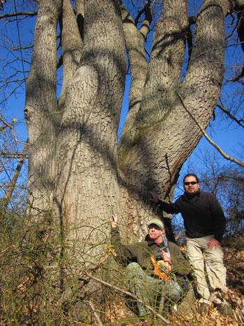 Co-champion chestnut oak