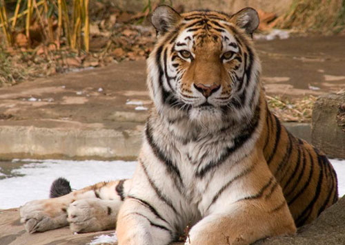 The Siberian tiger, whose habitat is threatened by rampant illegal logging in Russia
