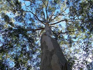 Eucalyptus trees like this one produce gold-flecked leaves when they grow over a gold deposit.