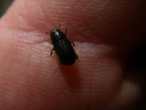 Mountain pine beetle.