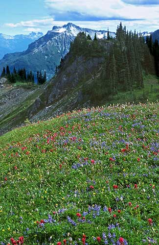 Alpine flowers on the slopes of Mount Rainier.