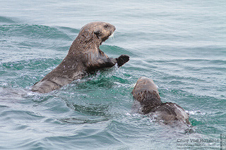 Sea otters play at Moss Landing Harbor, California.