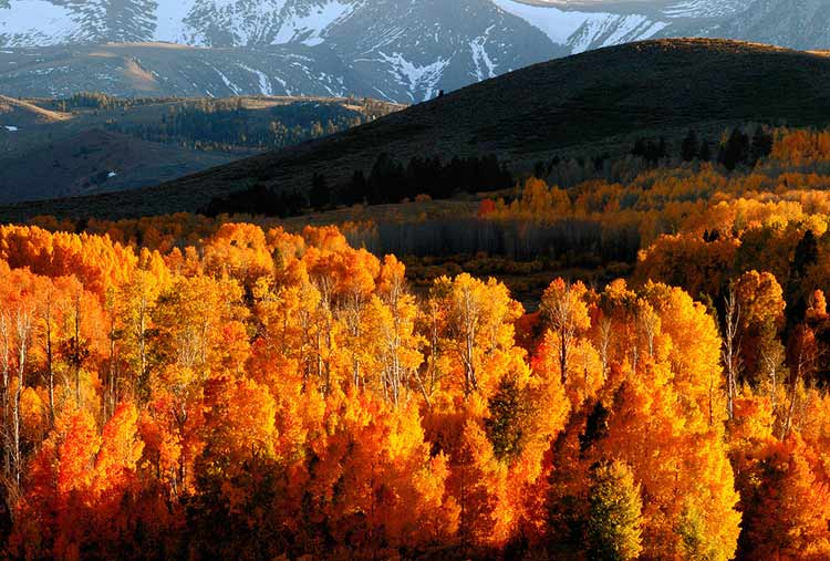 Aspens in fall.