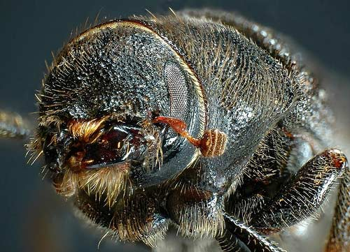 A close-up of a mountain pine beetle.