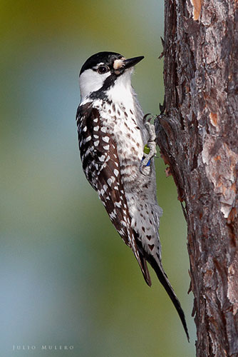 Red-cockaded woodpecker.