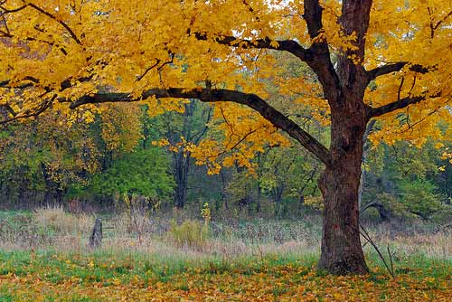 Sugar maple near the banks of the Mackinaw River - Money Creek Township; McLean County, Illinois