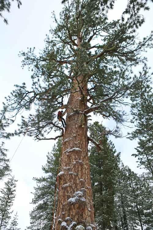 Champion ponderosa pine