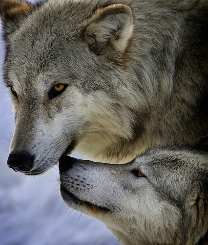 Gray wolves in Yellowstone National Park.