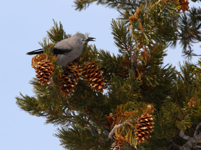 Whitebark pine seeds are essential to Clark's nutcrackers.