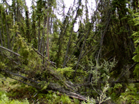 "Rising temperatures and thawing permafrost lead to ""drunken forests."""