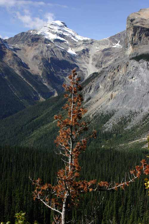 Whitebark pine in Canada's Yoho National Park succumbs to disease.