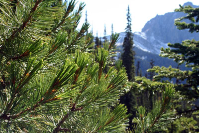 Whitebark pine in the subalpine zone of Wapiti Mountain in British Columbia's Yoho National Park.