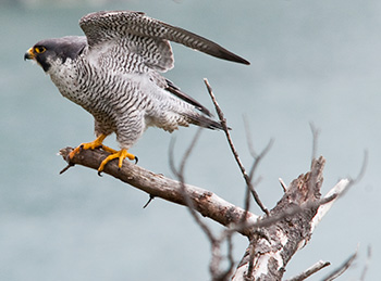 The peregrine falcon is a threatened species in Biscayne National Park