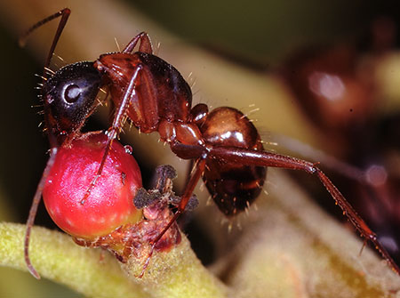 An American carpenter ant licks sugary nectar off the surface on an oak gall.