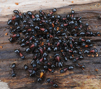 Nest of New York carpenter ants, Camponotus novaeboracensis.