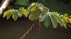 The rainforest tree Cecropia insignis is well known for its mutualistic relationship with Azteca ants, which live inside its hollow stems.