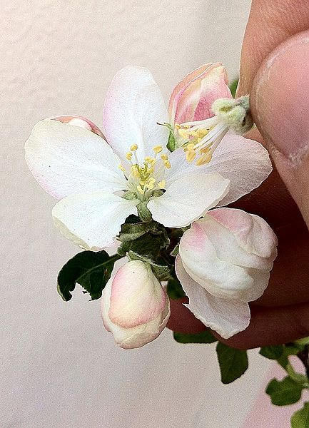 Artificial pollination with two apple blossoms