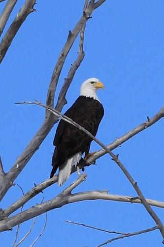 Bald eagle in Utah