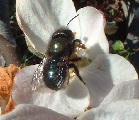 Orchard mason bee on an apple blossom