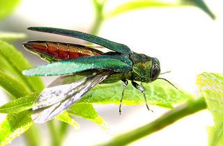 Adult emerald ash borer.