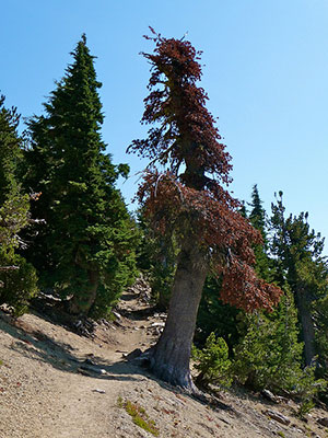 whitebark pine killed by mountain pine beetle
