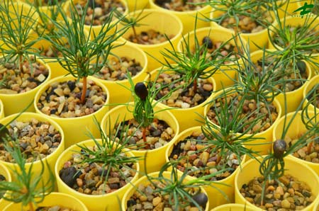 Rust-resistant whitebark pine seedlings.