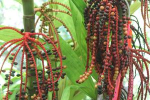 Palm seeds.