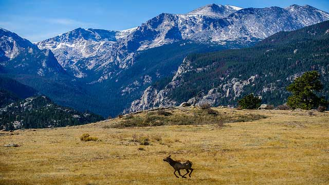 A young elk runs to join the rest of its herd in Rocky Mountain National Park