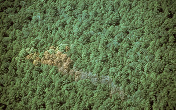 Southern pine beetle damage.