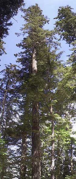 Douglas-Fir, the species threatened by root rot.