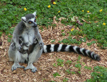 A lemur and her twin babies