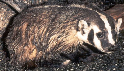 An adult badger in its den.
