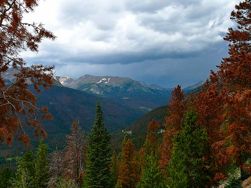 These brown trees in Rocky Mountain National Park are casualties of the mountain pine beetle epidemic