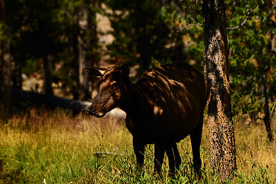 An elk takes shelter from the blistering heat in the shade at Yellowstone National Park