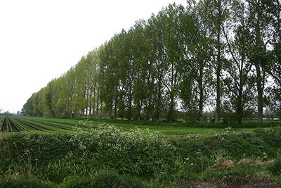 "Windbreak trees at Methwold Common. Rows of trees, usually poplars, are common features on the Fens. They act as windbreaks, a type of ""greening."""