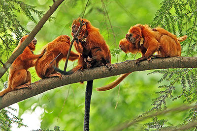 Golden lion tamarins.