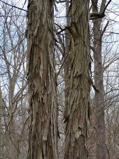 Shagbark hickory, one of the many native species being planted.
